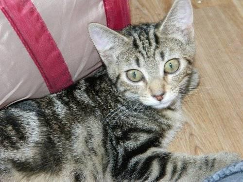 Bengal house cat rescue