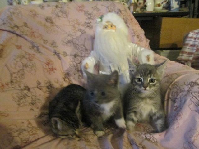 Maine Coon Kittens For Sale Seattle Bengal/Blue Mai...