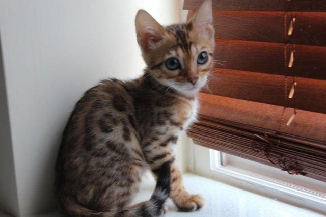 Bengal Kitten for Sale in Brooklyn, New York Classified ...