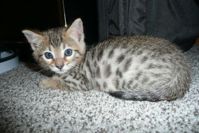 Bengal Kitten male for Sale in Kenosha, Wisconsin Classified ...