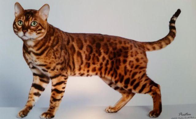 Bengal kittens for Sale in Hewittsville, Illinois Classified ...
