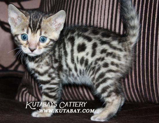 Bengal Kittens - Brown, Snow and Silver Rosetted!