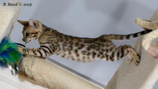 Bengal Kittens For Adoption - 3 months old for Sale in Aubrey, Texas ...