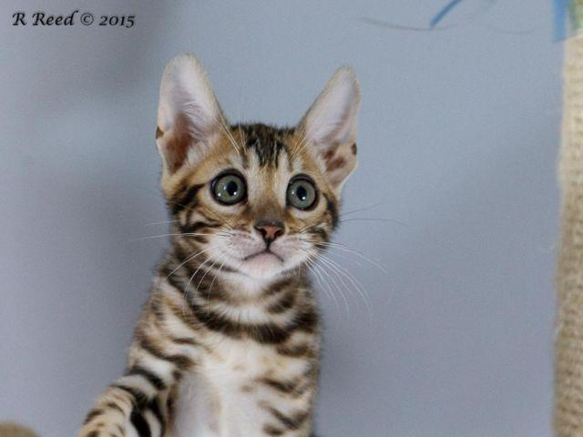 Bengal Kittens For Adoption 3 Months Old For Sale In Cincinnati Ohio Classified