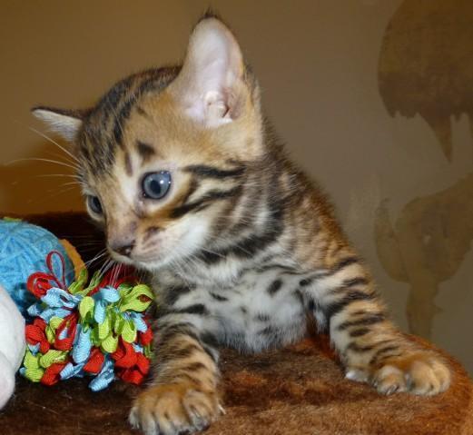 Bengal Kittens For Sale In Utah