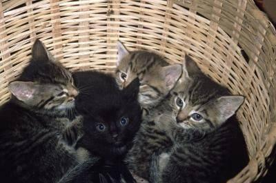 Bengal Maine Coon Kittens 6 Wks Old For Sale In Fredericksburg