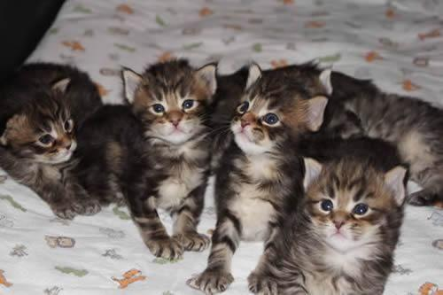 Maine Coon Kittens For Sale Seattle Bengal-Mainecoon Hybri...