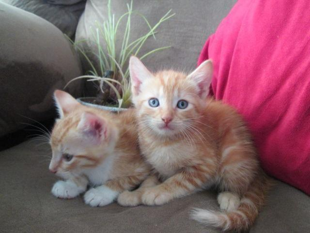 Maine Coon Kittens For Sale Seattle Bengal/Mainecoon kitte...