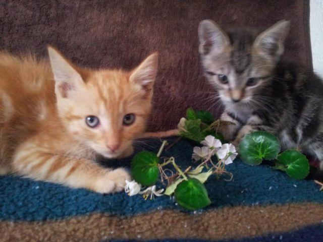 Maine Coon Kittens For Sale Seattle Bengal-Mainecoo...