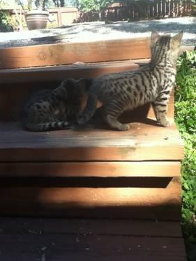 bengal pixie kittens weeks for sale in lake san marcos
