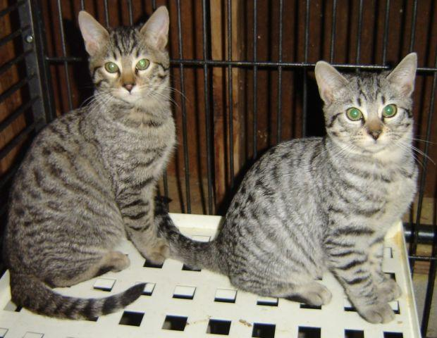 Bengal / Silver Tabby Kittens