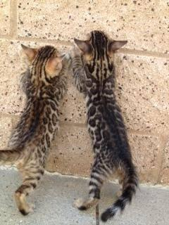 14750728 Bengal Studs and Queens, Bengal kittens and Savannah's Available ...