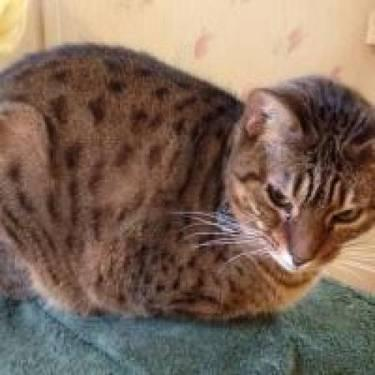 Bengal - Tom And Tony - Large - Adult - Male - Cat