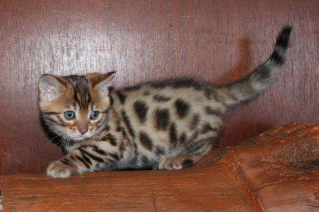 Bengals kittens