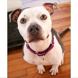 Benito Pit Bull Terrier Adult Male
