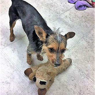 Benji Terrier (Unknown Type, Small) Young Male