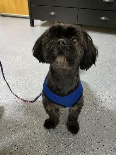 Benny Shih Tzu Adult - Adoption, Rescue for Sale in Crompond, New