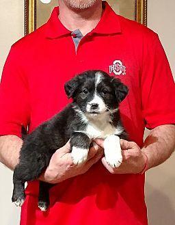 Bentley Border Collie Puppy Male For Sale In New Philadelphia Ohio