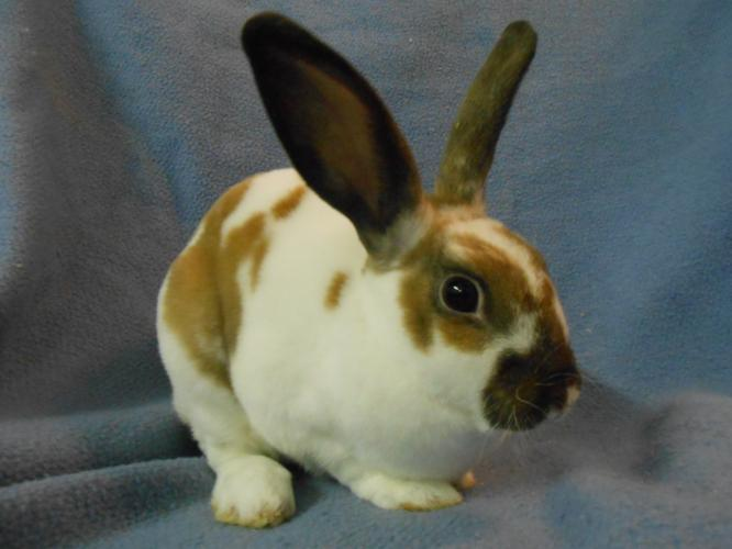 Berenger Mini Rex Baby - Adoption, Rescue