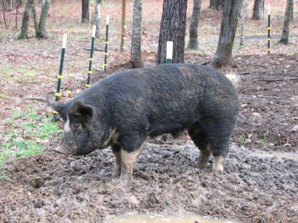 Berkshire Boar Ridgeway For Sale In Columbia South