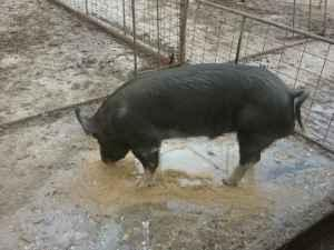 Yorkshire Pigs Classifieds Buy Sell Yorkshire Pigs