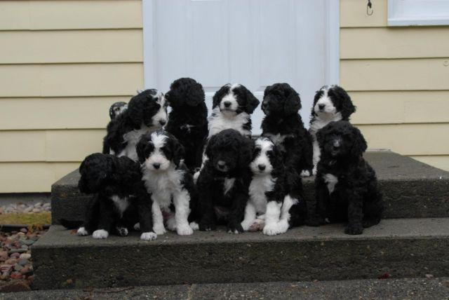 Bernedoodle Pets And Animals For Sale In Washington Puppy