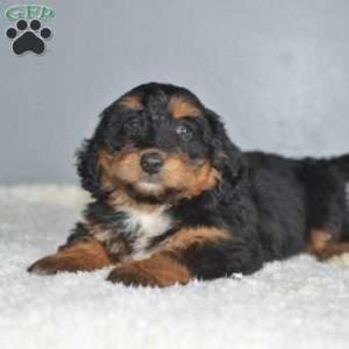 Bernedoodle Miniature Puppy By Marlin In Sugarcreek!