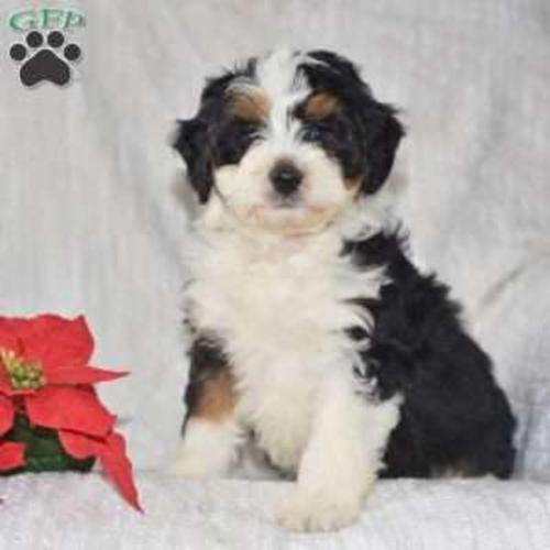 Bernedoodle Miniature Puppy Litter By Michael In Apple Creek!