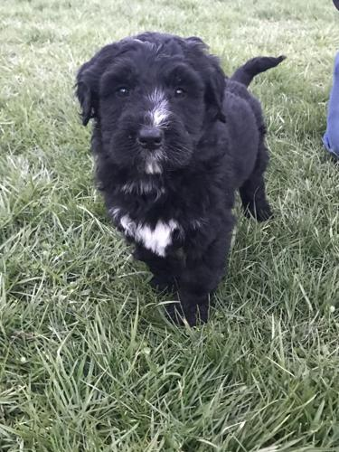 Bernedoodle Puppies For Sale In Mayslick Kentucky