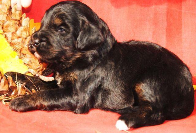 Bernese Mountain Dog For Sale Craigslist - spice21.co.uk