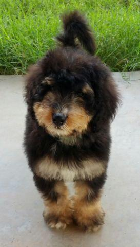 Bernedoodle Puppies Available For Sale In Darnestown
