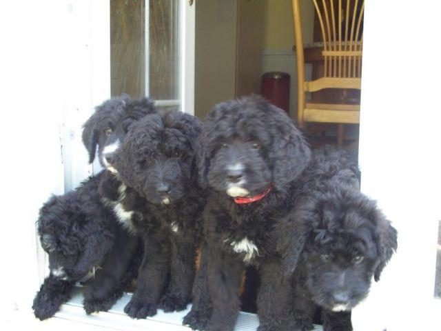 Bernedoodle puppies for christmas for sale in plymouth new hampshire