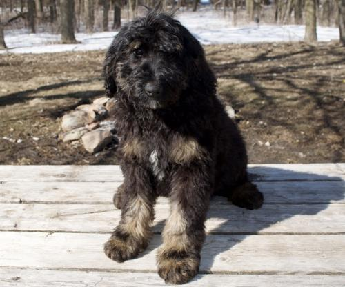 Bernedoodle For Sale In Minnesota Classifieds Buy And Sell