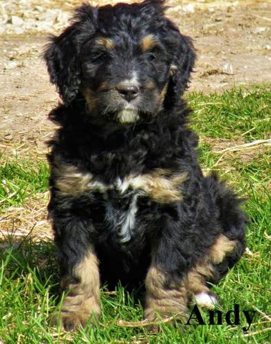 Bernedoodle Puppy for Sale - Adoption, Rescue