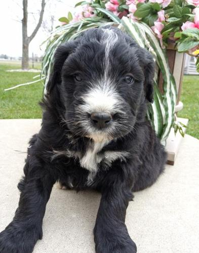 Bernedoodle Pets And Animals For Sale In Grabill Indiana