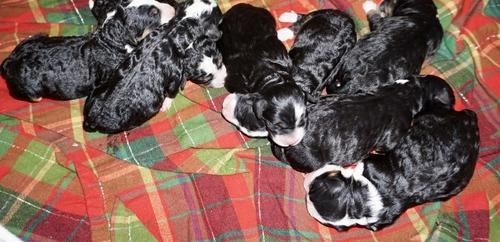 Bernedoodle Puppy For Sale Adoption Rescue For Sale In