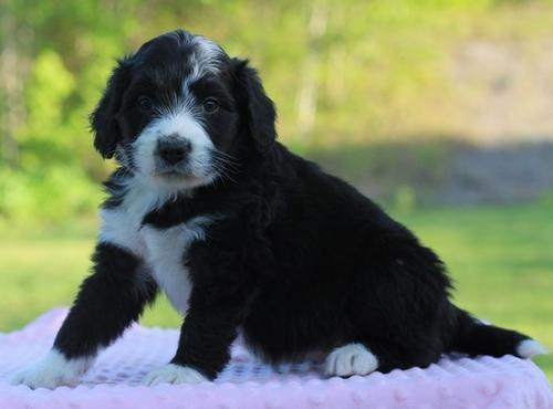 Bernedoodle Pets And Animals For Sale In Kentucky Puppy