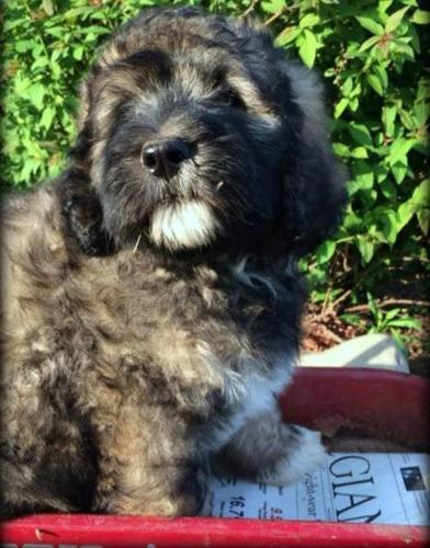 Bernedoodle Pets And Animals For Sale In Michigan Puppy
