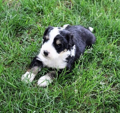 Bernedoodle Pets And Animals For Sale In Arthur Illinois