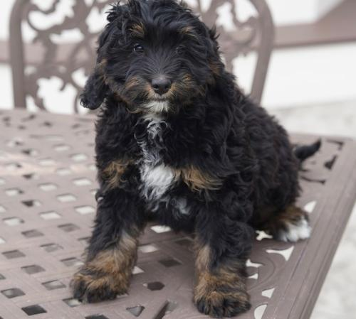 Bernedoodle Pets And Animals For Sale In Indiana Puppy And
