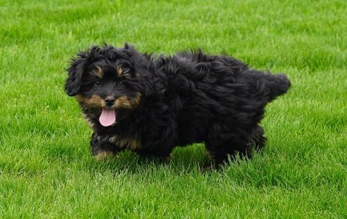 Abby Female F1b Mini Bernedoodle for sale in Richmond MI Males