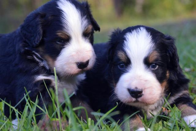 Bernese Mountain Dog Puppies For Sale In Claremont New