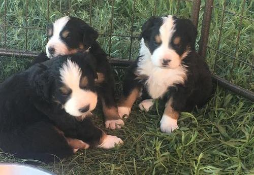 Bernese Mountain Dog Puppy For Sale Adoption Rescue For Sale In