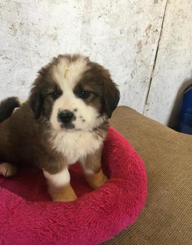 Bernese Mountain Dog Puppy For Sale Adoption Rescue For