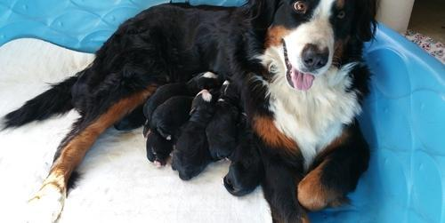 bernese mountain dog puppy for adoption