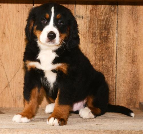 Bernese Mountain Dog Puppy for Sale - Adoption, Rescue