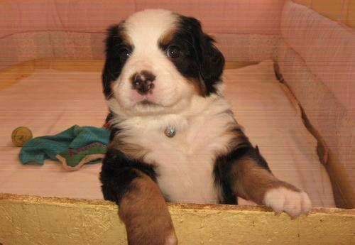 Bernese Mountain Dog For Sale In Tennessee Classifieds Buy