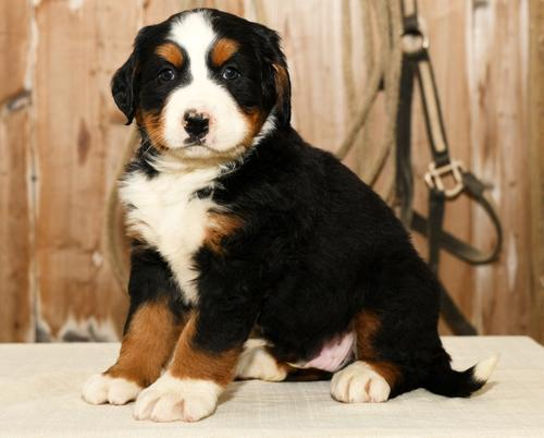 Bernese Mountain Dog For Sale In Ohio Classifieds Buy And