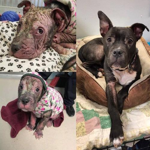 Berry Pit Bull Terrier Baby - Adoption, Rescue