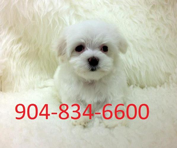 Best Quality Micro Maltese Puppies For Sale For Sale In Houston